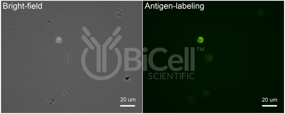 figure-3-antigen-labeling