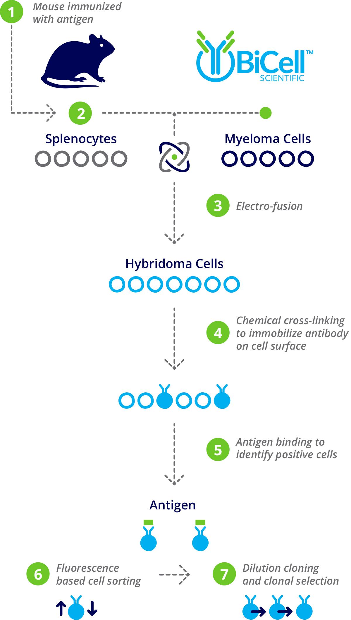 hybridoma-infographic