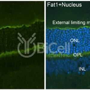 FAT1 antibody labeling of mouse retina