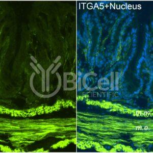 Integrin alpha-5 (ITGA5) antibody labeling of mouse colon