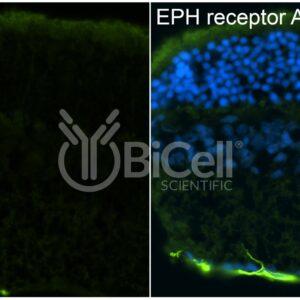 EPH receptor A1 (EPHA1) antibody labeling of mouse retina