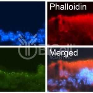 Anti-ILDR1 (Angulin-2) antibody labeling of mouse tissue